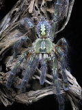 Redslate Ornamental Tarantula (Poecilotheria Rufilata), Captive Photographic Print by Michael Kern