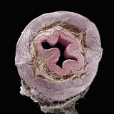 Cross-Section of the Esophagus Showing, from the Central Region Outward, the Lumen Photographic Print by Richard Kessel