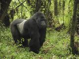 Silverback Mountain Gorilla Standing (Gorilla Beringei Beringei), Volcanoes National Park, Rwanda Impressão fotográfica por Thomas Marent