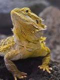 Bearded Dragon, Pogona Vitticeps, Captive Fotografisk tryk af Adam Jones