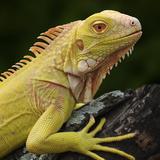 Albino Iguana (Iguana Iguana), Captive Fotografie-Druck von Michael Kern