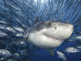 Great White Shark (Carcharodon Carcharias) Swimming Through a School of Smaller Fish Reproduction photographique par David Fleetham
