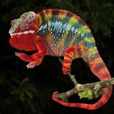 Panther Chameleon (Furcifer Pardalis), Captive Fotografisk tryk af Michael Kern