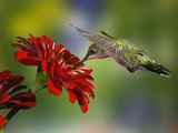 Female Ruby-Throated Hummingbird Feeding on Flower, Louisville, Kentucky Premium-Fotodruck von Adam Jones