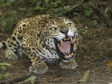 A Crouched and Aggressive Jaguar with Open Mouth, Showing its Sharp Teeth (Panthera Onca), Belize Reproduction photographique par Thomas Marent