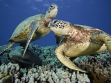 Green Sea Turtles (Chelonia Mydas), an Endangered Species, at a Cleaning Station Off Maui, Hawaii Fotografisk tryk af David Fleetham