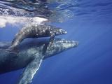 Humpback Whale Mother and Calf (Megaptera Novaeangliae), Maui, Hawaii, USA Lámina fotográfica por David Fleetham