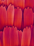 Butterfly Wing Scales, SEM X700 Photographic Print by Richard Kessel