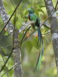 Resplendent Quetzal Male (Pharomachrus Mocinno), Cierro La Muerte, Costa Rica Reproduction photographique par Thomas Marent