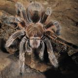 Chilian Rose Hair Tarantula (Grammostola Rosea), Captive Fotografisk tryk af Michael Kern