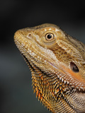 Bearded Dragon, Pogona Vitticeps, Captive Fotografie-Druck von Adam Jones