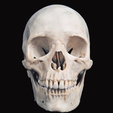 Human Male Skull Viewed from the Front Prominent Features Include the Two Eye Sockets, the Nasal Photographic Print by Ralph Hutchings