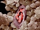 Capillary Cross-Section with Red Blood Cells or Erythrocytes Inside Capillaries Fotografie-Druck von Richard Kessel
