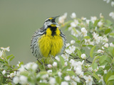 Eastern Meadowlark (Sturnella Magna) Singing Reproduction photographique par Steve Maslowski