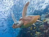 Green Sea Turtle (Chelonia Mydas), Malaysia Fotografie-Druck von Marty Snyderman