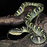 Wagler's Pit Viper (Tropidolaemus Wagleri), Captive 写真プリント : マイケル・カーン