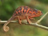 Female Panther Chameleon (Furcifer Pardalis) Lokobe Nature Special Reserve, Northern Madagascar Impressão fotográfica por Thomas Marent