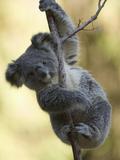 Koala (Phascolarctos Cinereus) in a Eucalyptus Tree Fotografie-Druck von Joe McDonald