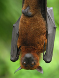 Flying Fox (Pteropus Vampyrus), Malaysia Lámina fotográfica por Thomas Marent