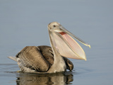 Brown Pelican (Pelecanus Occidentalis) in Juvenile Plumage, Tampa Bay, Florida, USA Photographic Print by Arthur Morris