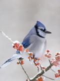Blue Jay (Cyanocitta Cristata) in Icy Berries Impressão fotográfica por Steve Maslowski