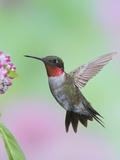 Male Ruby-Throated Hummingbird (Archilochus Colubris) at Swamp Milkweed Impressão fotográfica por Steve Maslowski