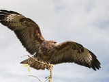 Common Buzzard (Buteo Buteo), Europe Photographic Print by Louise Murray