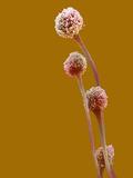 Aspergillus Stalked Conidia or Fruiting Bodies Fotografisk tryk af David Phillips