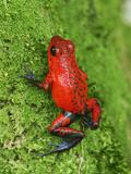 Strawberry Poison Frog (Dendrobates Pumilio), Cahuita National Park, Costa Rica Impressão fotográfica por Thomas Marent