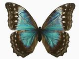Adult Female Blue Morpho Butterfly (Morpho Amathonte) the Female Is Partially Blue with Dark Mar… Fotografisk tryk af Jeffrey Miller