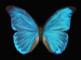 Male Adult Blue Morpho Butterfly (Morpho Amathonte) Fotografie-Druck von Jeffrey Miller