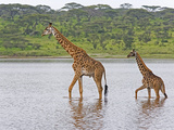 Adult and Young Masai Giraffe, Giraffa Camelopardalis, Walking in Lake Ndutu, Serengeti, Tanzania Fotografisk tryk af Fritz Polking