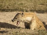 Spotted Hyena at Den Opening (Crocuta Crocuta), Serengeti National Park, Tanzania Lámina fotográfica por Mary Ann McDonald