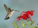 Black-Chinned Hummingbird (Archilochus Alexandri) Female Flying Reproduction photographique par Jack Milchanowski