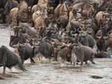 Wildebeest or Gnu, Connochaetes Taurinus, During River Crossing in the Masai Mara Gr, Kenya Fotografisk tryk af Joe McDonald