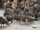 Wildebeest or Gnu, Connochaetes Taurinus, During River Crossing in the Masai Mara Gr, Kenya Photographic Print by Joe McDonald