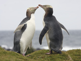 Yellow-Eyed Penguins Allopreening (Megadyptes Antipodes) Photographic Print by Richard Roscoe