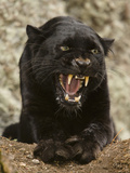 Black Panther (Panthera Onca), Melanistic Morph, Growling and Snarling, Captivity Fotografisk tryk af Joe McDonald