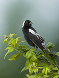 Bobolink (Dolichonyx Oryzivorus), USA Reproduction photographique par Joe McDonald