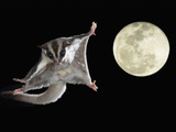 Sugar Glider, Petaurus Breviceps, Marsupial Mammal Gliding Through the Night Sky, Australia Photographic Print by Joe McDonald