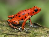 Strawberry Poison Dart Frog (Dendrobates Pumilio), Bastimentos National Park, Bocas Del Toro Impressão fotográfica por Thomas Marent