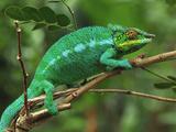 Male Panther Chameleon (Furcifer Pardalis) Lokobe Nature Special Reserve, Northern Madagascar Impressão fotográfica por Thomas Marent