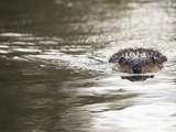 American Beaver Swimming (Castor Canadensis), North America Fotografisk tryk af Mary Ann McDonald
