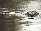 American Beaver Swimming (Castor Canadensis), North America Lámina fotográfica por Mary Ann McDonald