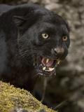 Leopard or Black Panther (Panthera Pardus) Fotografie-Druck von Joe McDonald