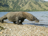 Komodo Dragon (Varanus Komodoensis), Indonesia Photographic Print by Joe McDonald