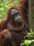 Borneo Orangutan Female (Pongo Pygmaeus), Camp Leaky, Tanjung Puting National Park, Kalimantan Impressão fotográfica por Thomas Marent