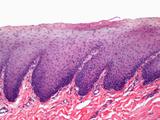 Cross-Section of Human Skin, LM Valokuvavedos tekijänä David Phillips