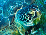 Green Turtle Feeding in Sea Grass Beds, Red Sea, Egypt Impressão fotográfica premium por Louise Murray
