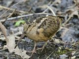 American Woodcock (Scolopax Minor) Impressão fotográfica por Steve Maslowski